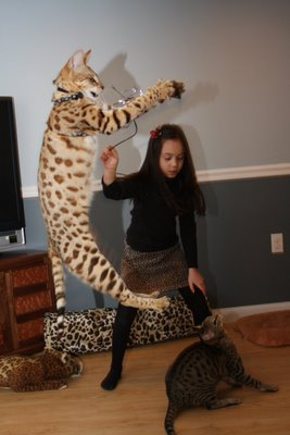 man he can jump Titan the Cat Savannah Crazy Cat Lady Tag LoloableStuff blog