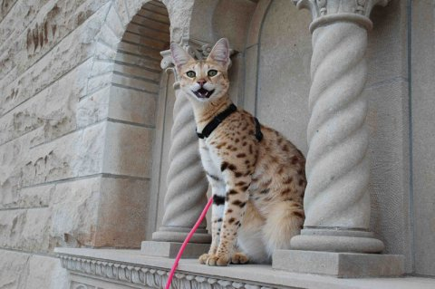 Savannah cat Crazy cat lady tag LoloableStuff blog hybrid kitty pisici
